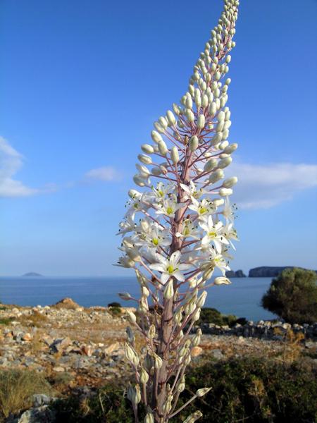 Meerzwiebel, Blütenstand