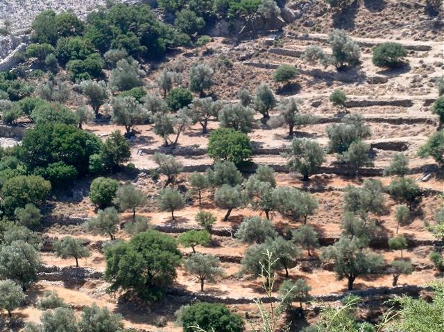 Olivenhain in Ostnaxos