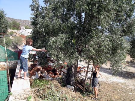 Gäste beim Olivenpflücken