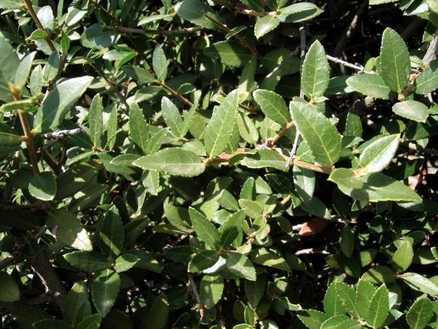 Steinlinde, Blätter