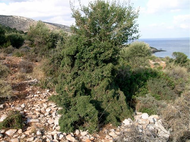 Wilde Olive