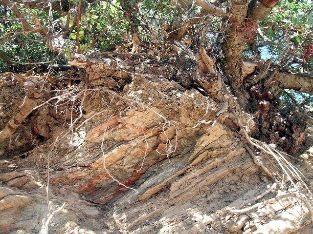 <Mastixstrauch auf Schiefer mit nur sehr dünner Bodenschicht