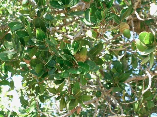 Kermeseiche, Blätter