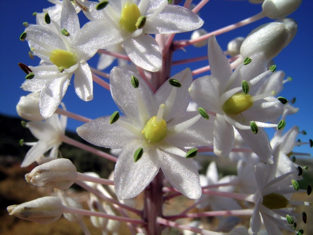 Meerzwiebel, Blüten