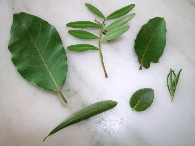 Blätter verschiedener Hartlaubgewächse