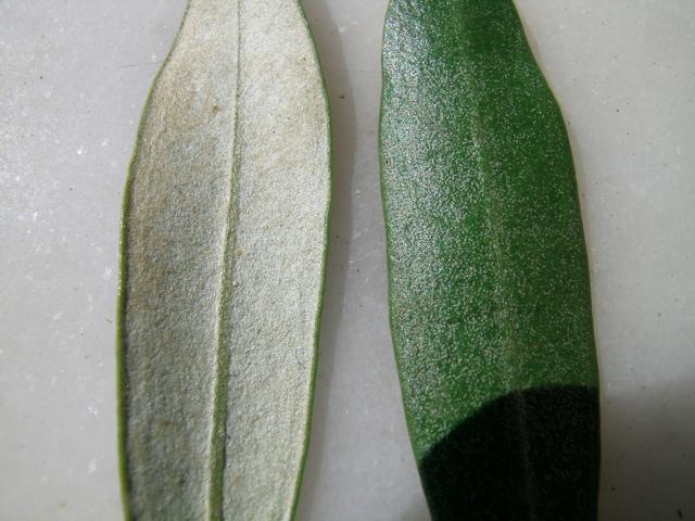 Olivenblätter mit behaarter Unterseite
