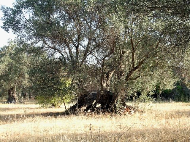 uralter Ölbaum mit nur wenig freigelegtem Stammfuß