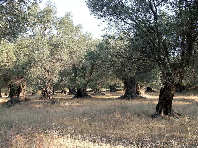Olivenhain mit freigelegten Stammfüßen