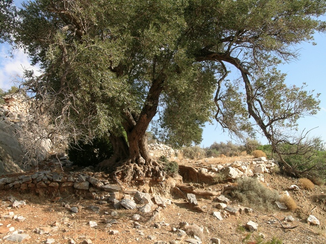 alter Ölbaum auf verfallender Terrasse