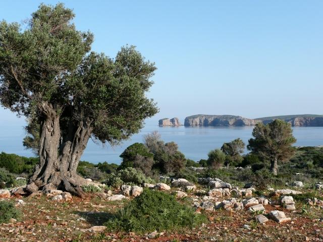 Ölbaum und Kap