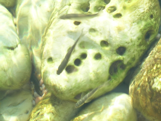 junge Meeräschen