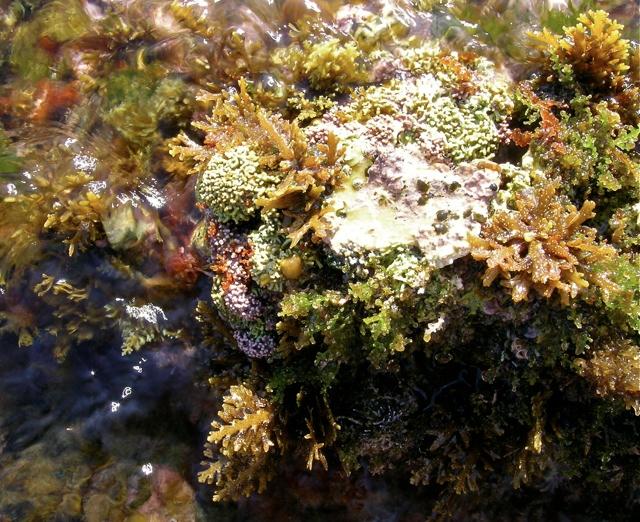 Algen im Mesolitoral