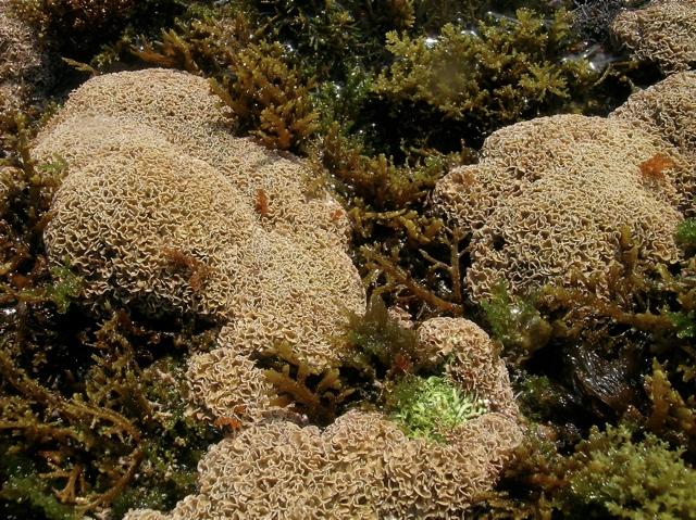 Lithophyllum tortuosum