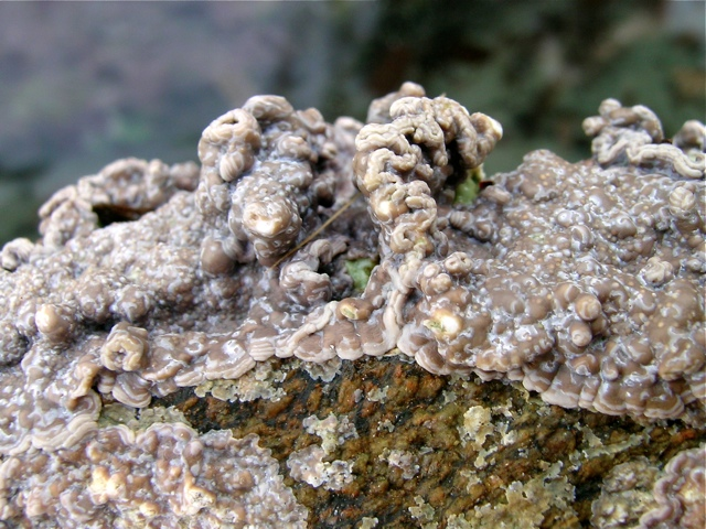 Lithophyllum incrustans
