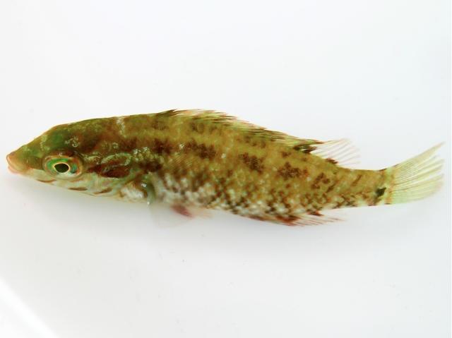 Fünffleckiger Lippfisch
