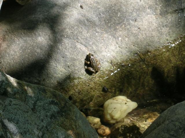Balkan-Wasserfrosch