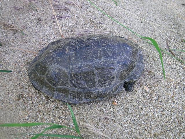 Kaspische Bachschildkröte