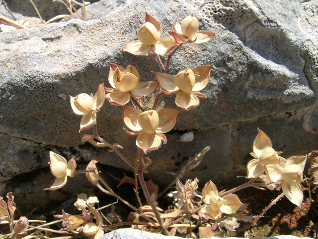 trockene Pflanze auf dem Zeus-Berg