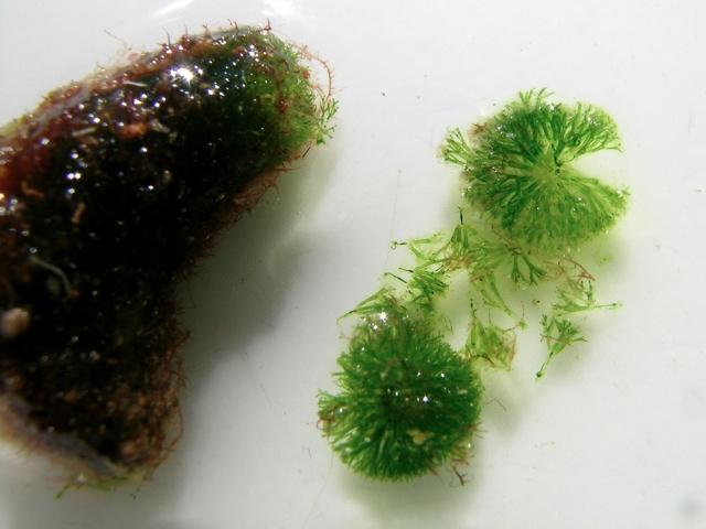 Dasycladus vermicularis