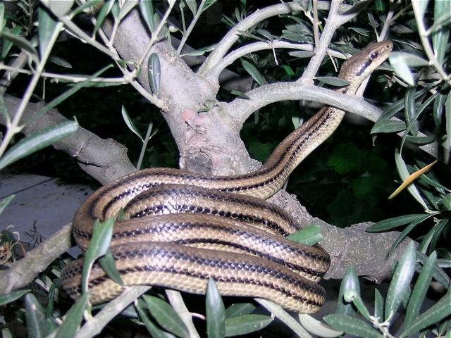 Schlangen Kreta