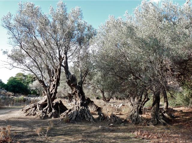 Der größte Ölbaum