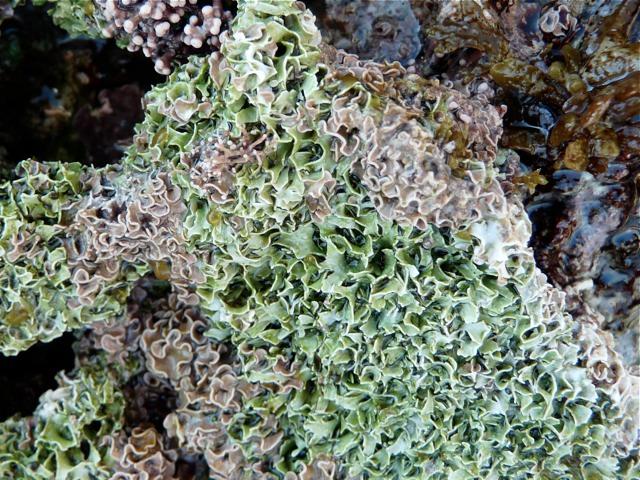 Lithophyllum byssoides?