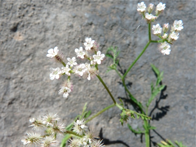 Doldenblütler I, Apiaceae | Ferienhäuser in Azalas