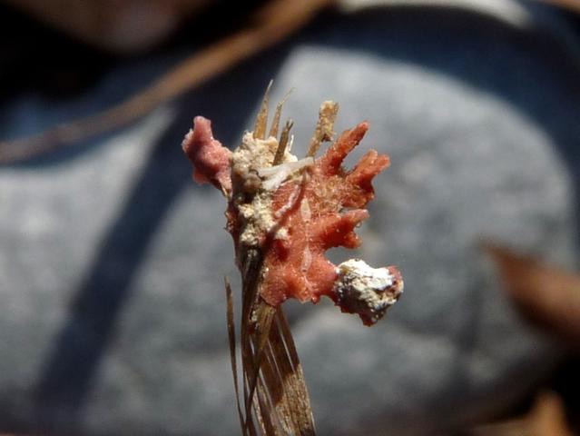 Korallen-Foraminifere