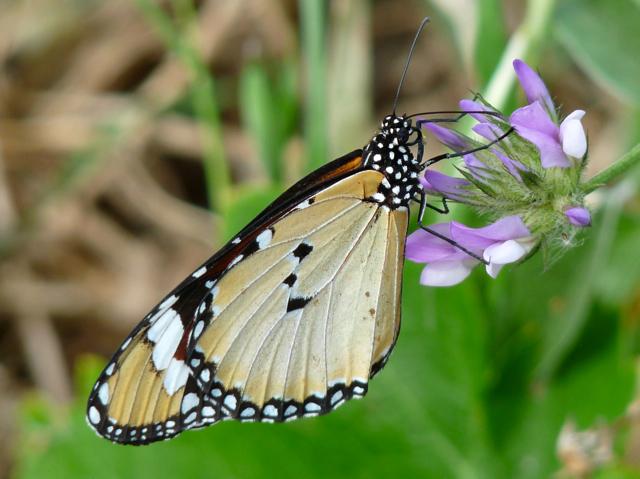 Schmetterlinge | Ferienhäuser in Azalas