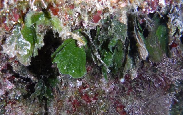 Flabellia petiolata